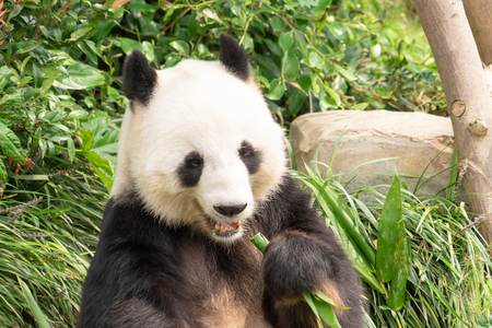 Panda is eating bamboo leaf for lunch Stock Photo