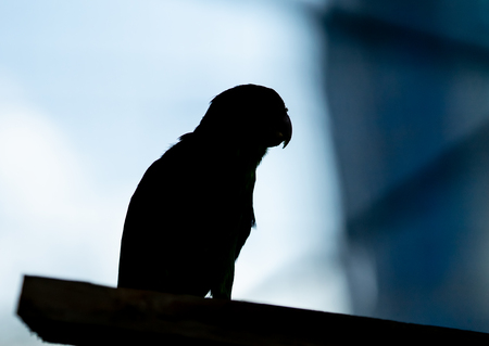silhouette shadow parrot standing on a building