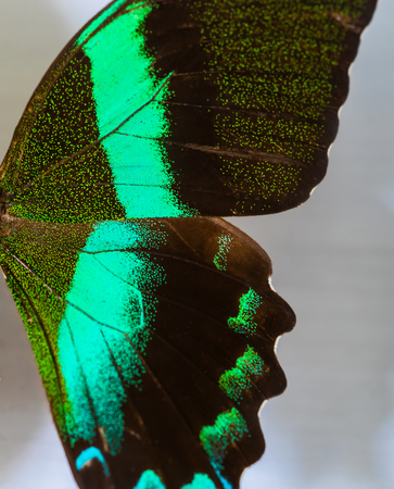 Half side wing of a death green butterfly Stockfoto