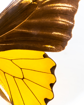 Half side wing of a death yellow butterfly Stock Photo