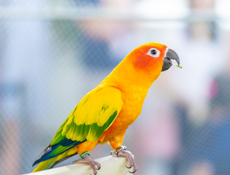 Orange love bird standing on wooden stick Stock Photo