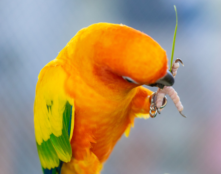 cute little orange parrot eating on a tree branch Stock Photo