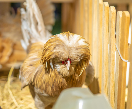 Cute brown silkie chicken closed up portrait 写真素材