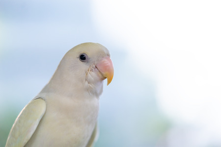 a white parrot standing closed up face Фото со стока - 118952891