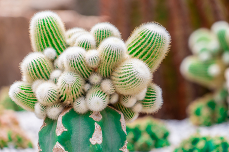 Green Cactus top view on rock garden