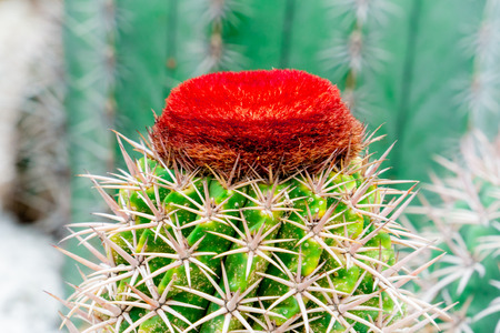 Red blooming cactus flower on top of green cactus on rock garden