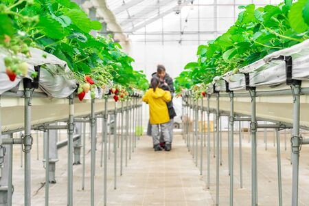 Family is havesting in a closed strawberry farm platation.