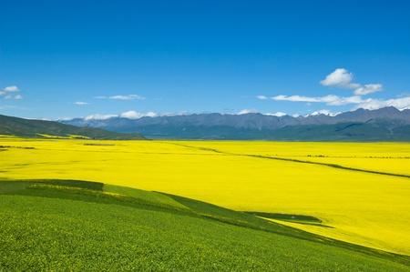 cole: fiore di Cole, mountan qilian e cloud in contea menyuan ?qinghai-tibet plateau? provincia di qinghai Cina