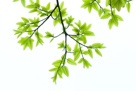 nervure: yema y hojas de �rbol Ficus Microcarpa en primavera