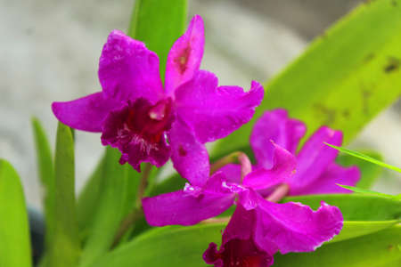 Cattleya Orchid with red flowers in the garden.
