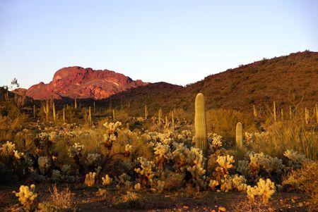 ocotillo: Ocotillo shrub (Fouquieria splendens), Teddy Bear Cholla (Cylindropuntia bigelovii),  Saguaro Cactus (Cereus giganteus), Creosote Bush (Larrea tridentata) in Vulture Mountains
