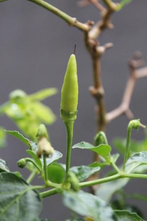 capsicum: Capsicum Frutescens Stock Photo