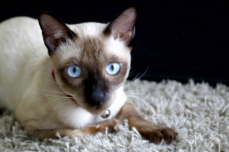 blue siamese cat: Traditional Siamese Cat with Blue Eyes and chocolate points Stock Photo