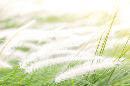 Beautiful grass flower (poaceae),Naturally beautiful flowers in the garden, concept illustration Enjoyment, relax, comfortable, freedom, Carefree, Enjoyment, Happy. 版權商用圖片