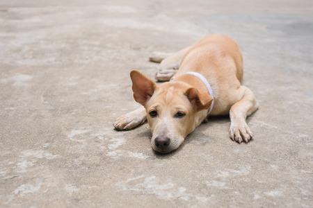 Yellow thai dog is lying on the cement floor, selective focus