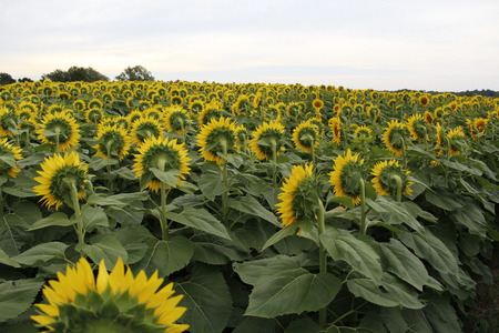 Sunflower field with flowers facing sun