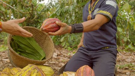 Two Workers Cutting A Cocoa Fruit And Harvesting The Beans Ecuador