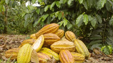 Dolly Shot Of Cocoa Fruits Accumulated In The Ground Ecuador 写真素材