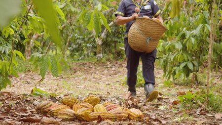 Indigenous Worker With A Basket Harvesting Cocoa Fruits In Ecuador