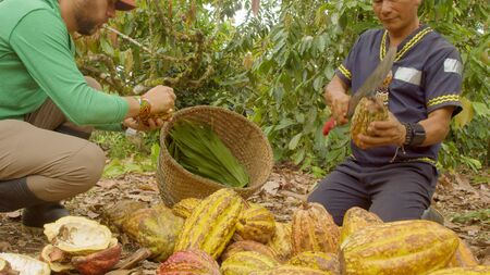 Two Workers Harvesting Cocoa Beans Ecuador Low Angle 写真素材