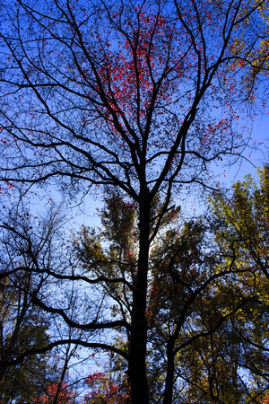 great smokies: Silhouette of a tree in autumn