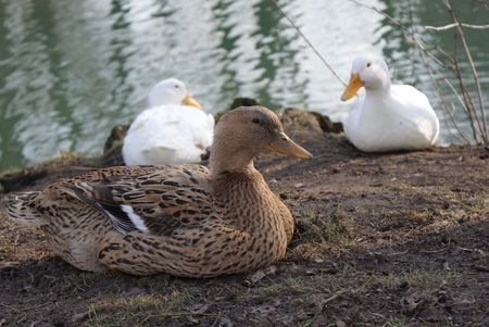 womanhood: Ducks