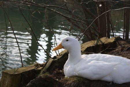 womanhood: Duck Stock Photo