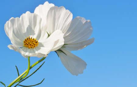 Cosmos Flower  photo