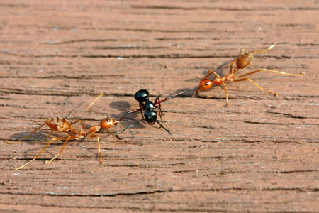 dissuade: Black ant is between 2 red ants