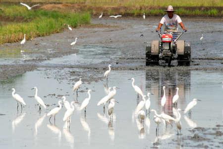 carretilla de mano: Cuando los agricultores de arroz hacer el cultivo de arroz por carretilla de mano, hace que los caracoles manzana de oro hasta el campo y luego las aves vendrá a comer. Foto de archivo