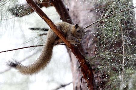 A tree shrew finds foods on the pine tree in the rain.