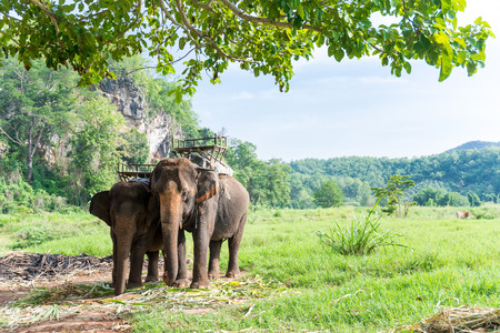 thai elephant: Elephas maximus indicus Cuvier to carry for tourist jungle trail