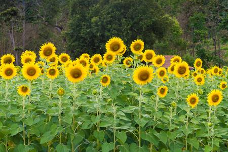girasol: Campo de girasol. Campo del girasol en plena floración