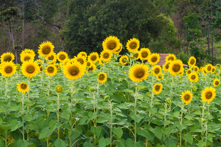 plant seed: Sunflower field. Sunflower field in full bloom Stock Photo
