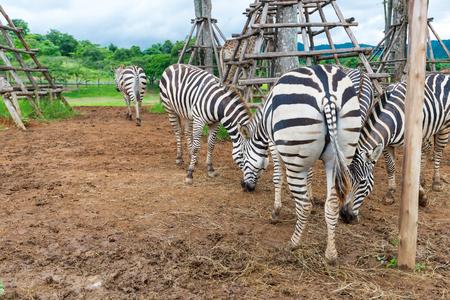 grazing: zebras grazing