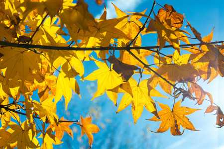 color in: Maple leaves change color in autumn