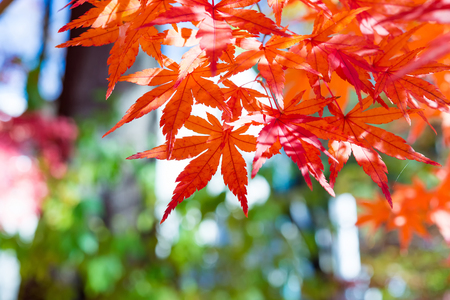 colour in: Maple leaves change color in autumn
