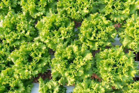 Salade blad. Sla salade plant, hydrocultuur plantaardige bladeren Stockfoto