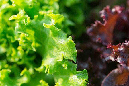 Salad leaf. Lettuce salad plant, hydroponic vegetable leaves Stock Photo