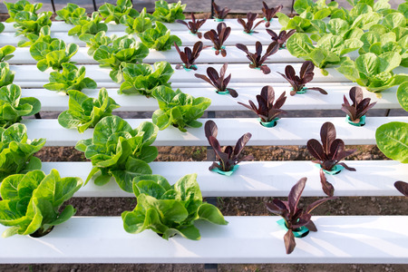 Green Romaine salad plant, hydroponic vegetable leaves Stock Photo
