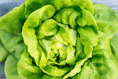 Butterhead Lettuce salad plant, hydroponic vegetable leaves