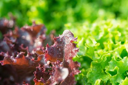 サラダの葉。レタスサラダ工場、水耕野菜の葉