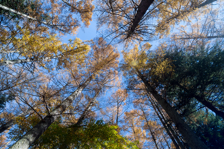 High pine trees in the forest