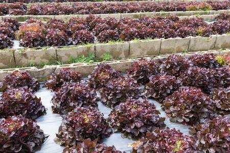レッドオークリーフレタス、野菜サラダ植え
