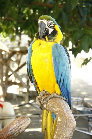 maccaw: A photo of a blue and gold parrot or maccaw Stock Photo