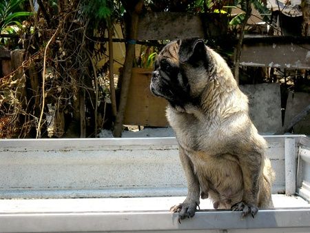 up: A pug dog at the back of a pick up truck