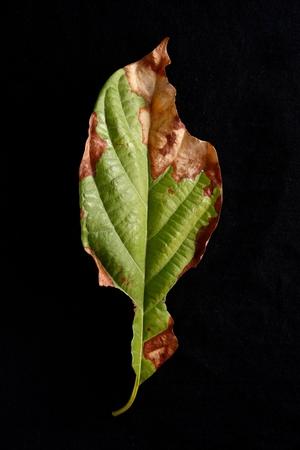 dried leaf: Half fresh half dried leaf Stock Photo