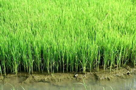 Rice plant in a rice field