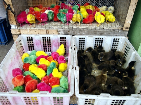 colored dye: Dye colored chicks sold at a store