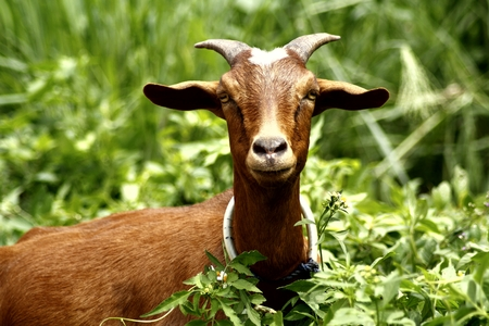 Photo of a brown goat in a grass field Banco de Imagens